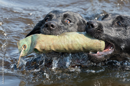 Fotomural Two black Labradors retrieving a training dummy from the water together