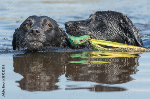 Head shot of two black Labradors swimming in the water while retrieving a traini Fototapet
