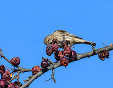 Female House Finch Feeding On ...