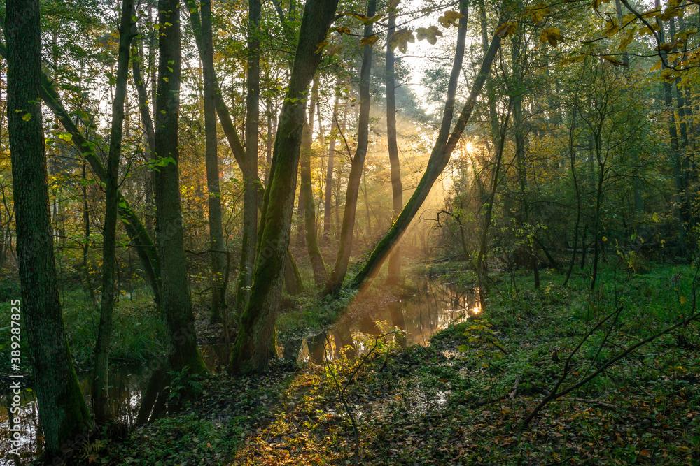 Fototapeta światło w jesiennym lesie - obraz na płótnie