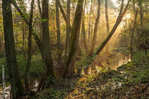 Fototapeta świt w lesie  jesienne drzewa mgła i światło obraz na płótnie