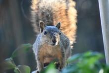 A Cute Gray Tree Squirrel Come...