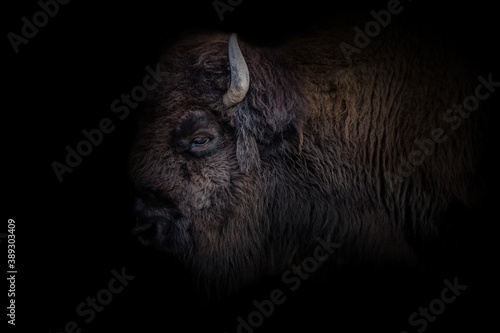 Fotografía Bison mit Details des Kopfes mit schwarzen hintergrund