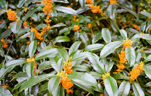 Fotografía Park where osmanthus is in bloom