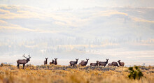 Bull Elk With His Herd Of Cows...
