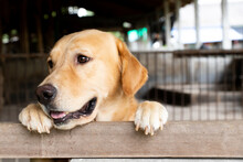 Brown Golden Retreiver Dog Sto...
