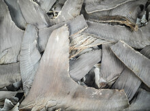 Dried Shark Fins On Sale In A Chinese Restaurant. Bangkok, Thailand.