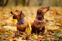 Beautiful Two Dachshund Puppy ...