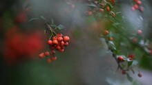 Orange Firethorn Pyracantha Coccinea Berries