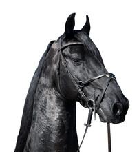 Closeup Portrait Of Friesian Stallion Horse On White