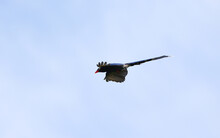 Taiwan Blue Magpie, Urocissa Caerulea