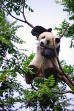 Happy Panda Resting On A Tree Brunch In The Beijing Zoo