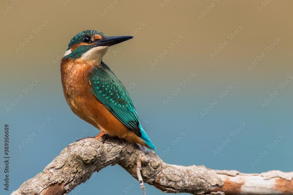 Fototapeta Common kingfisher (Alcedo atthis) male on a branch
