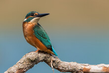 Common Kingfisher (Alcedo Atth...