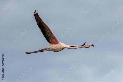 Fotografering Flamingo flying