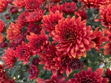 Red Mums In Full Bloom