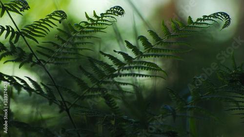Fotografia Fougères aux feuilles bien denses, photographiées à l'aide d'un télé-objectif en