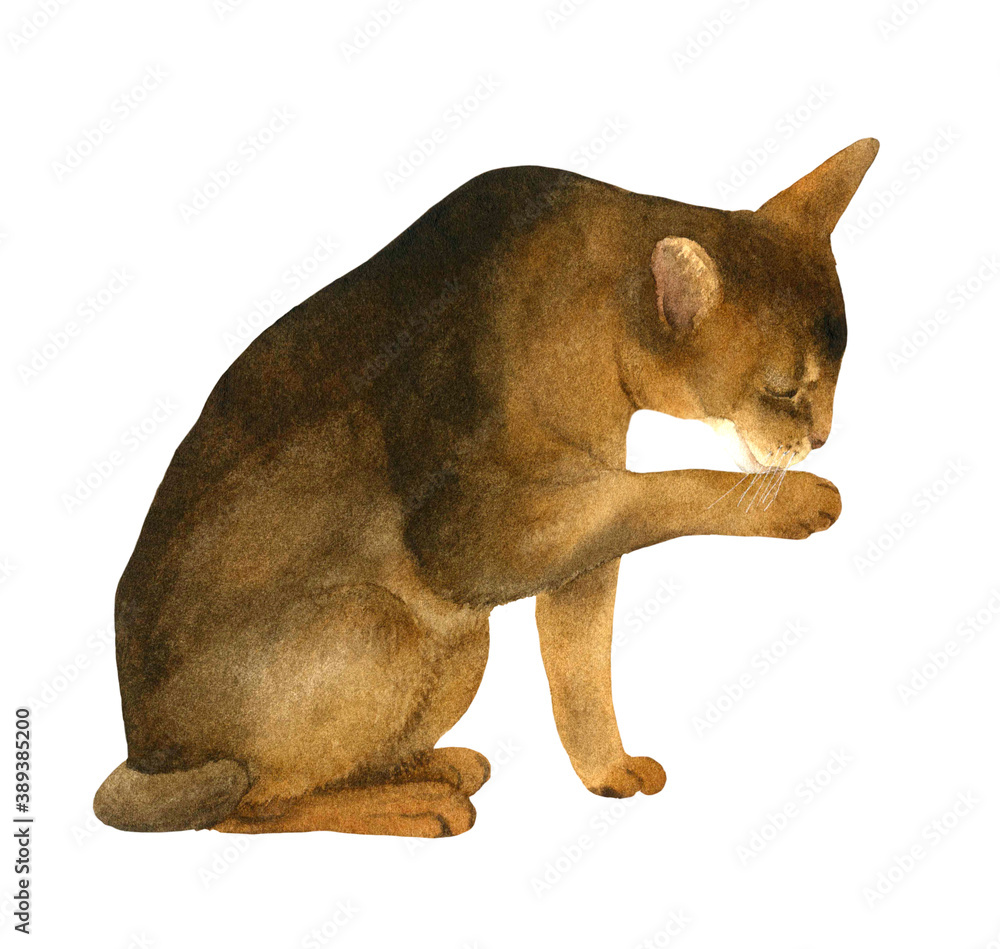 Fototapeta An abyssinian cat washing itself hand drawn in watercolor isolated on a white background. Watercolor illustration. Watercolor cat
