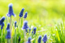 Blue Spring Flowers Muscari On...