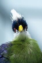 The White-crested Turaco (Taur...