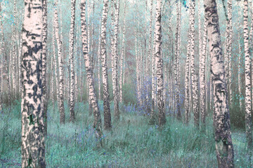 Panel Szklany Popularne Young birches with black and white birch bark in spring in birch grove against background of other birches