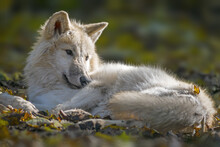 A White Wolf Relaxes In The Co...