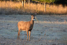 White Tailed Deer Doe In Frost Covered Autumn Field