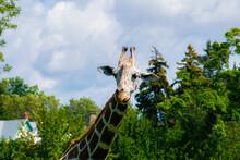 Giraffe In The City