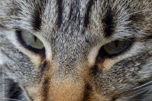 Cabeza de gato Tapéta, Fotótapéta