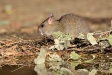 Rata Comiendo En El Parque (Rattus Rattus) Ojén Málaga España