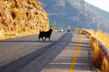 Black Goat Crossing The Road With Auto On Background