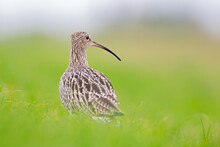 A Portrait Of A Curlew Resting...
