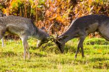 Two Deer Fighting At Mating Season
