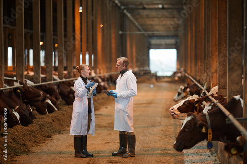 Obraz na płótnie Full length portrait of two veterinarians in cow shed talking while inspecting l