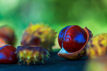Chestnuts In Green Wrapping And Without Wrapping On A Wooden Bench. The Photo Has A Nice Bokeh In The Setting Sun.