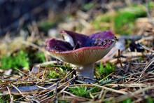 Red Mushroom Russula
