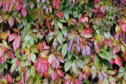 Winobluszcz kolorowe jesienne liście tło - fototapety na wymiar