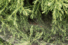 Close-up: Spider With Tunnel-shaped Spider Web In Evergreen Bushes Of Chinese Juniper