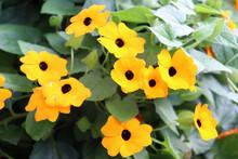 Schwarzäugige Susanne, Thunbergia Alata, Gelblich Orange Blühend