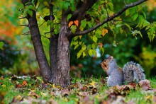 Furry Eastern Gray Squirrel (sciurus Carolinensis) In The Grass