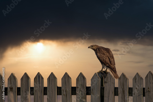 Photo Red tailed hawk perched on a fence over looking Dorval airport Quebec, Canada