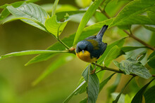 Tropical Parula (Setophaga Pitiayumi) Small New World Warbler, Yellow And Black Bird Breeds From Texas And Mexico South Through Central America To Northern Argentina, Trinidad And Tobago.