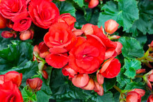 Large Red Flowers Of Begonia O...