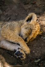 Sleeping Lion Cub, Small Wild ...