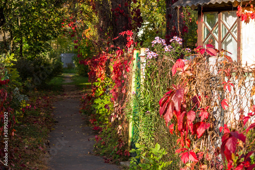 Cozy courtyard with colorful Virginia creeper (Parthenocissus quinquefolia) leaves on the fence Canvas Print