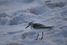 A Seabird Walks Along The Ocea...