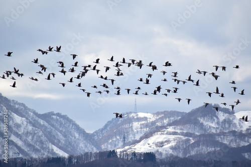 Fotografia 山際を飛ぶマガンの群れ