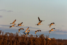 The Flock Of Sandhill Crane In...
