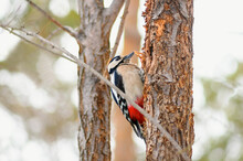.Woodpecker On A Tree. Great Spotted Woodpecker Sitting On A Tree In The Forest, Bottom-up View.