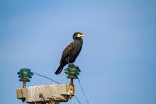 Cormorants Hunting The Po Delta